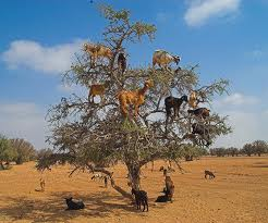 Goats climbing the trees for Moroccan Gold